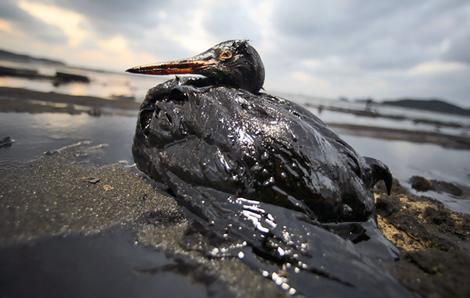 Hundreds of birds have washed ashore covered in an oily, sticky substance believed to be polyisobutene (PIB), leaving the birds sickened or dead.