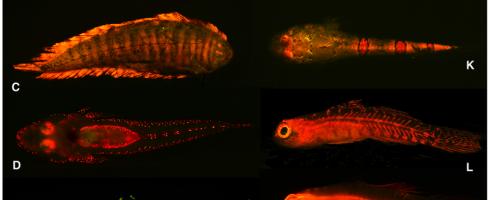 biofluorescent fish john sparks