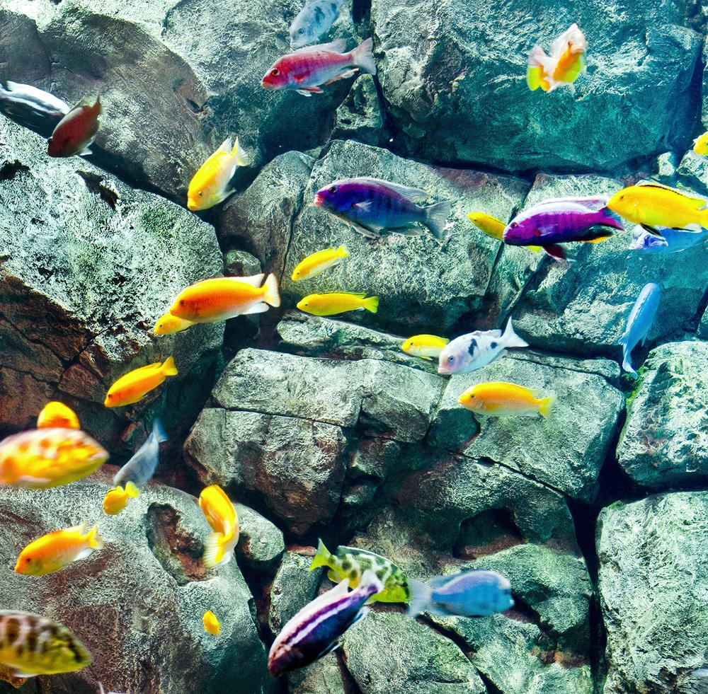 Freshwater fish looks like dolphin - Freshwater Fish