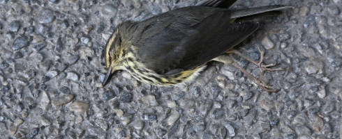 Bird died from flying into a window