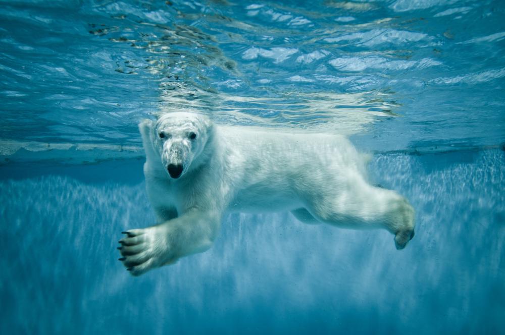 Polar Bears Diet Polar Bear Diets Make Melting