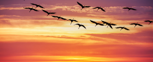 birds migrating at sunset