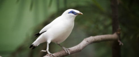 Endangered species like this Bali Starling are the subject of a new report on invasive species.