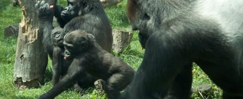 A family of gorillas. Juvenile gorillas have been dismantling poacher traps.