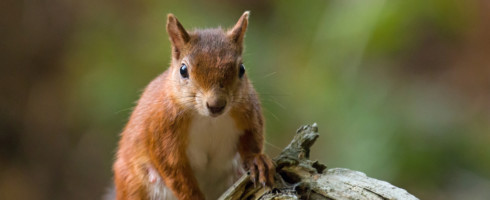 Leprosy is endemic among red squirrels in the UK
