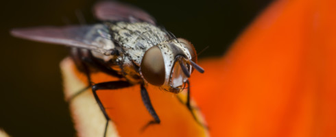 Rising temperatures are leading to declining insect populations, according to a recent study done on fruit flies.