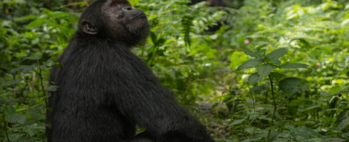 Images from NASA satellites are helping to save chimpanzees.