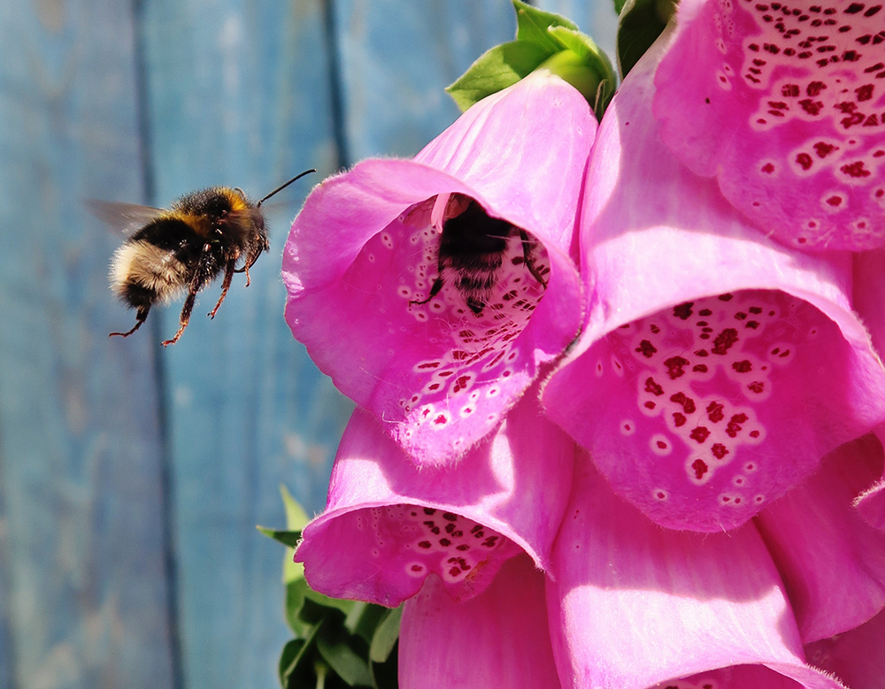 Populations of wild bees are declining, but the demand for pollination is increasing.