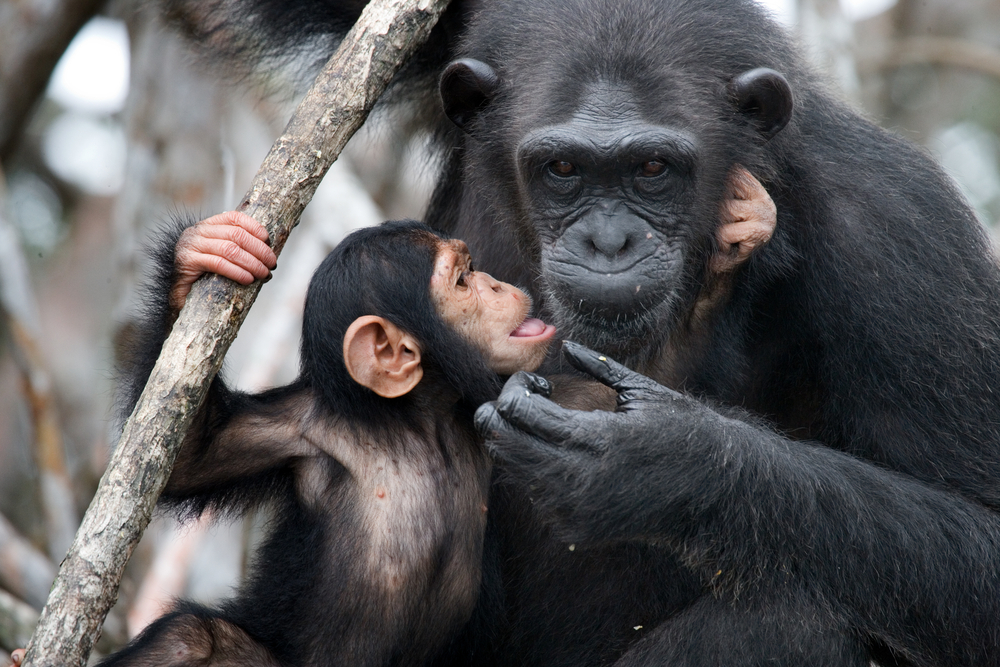 Potential Ebola Vaccine for Wild Apes Might Not Come to Be