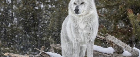 An appellate court ruled that gray wolves should remain on the federal endangered species list, as the population has not sufficiently recovered yet.