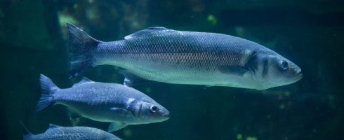 A new study has found that fish are being stressed and confused by oceanic noise pollution.
