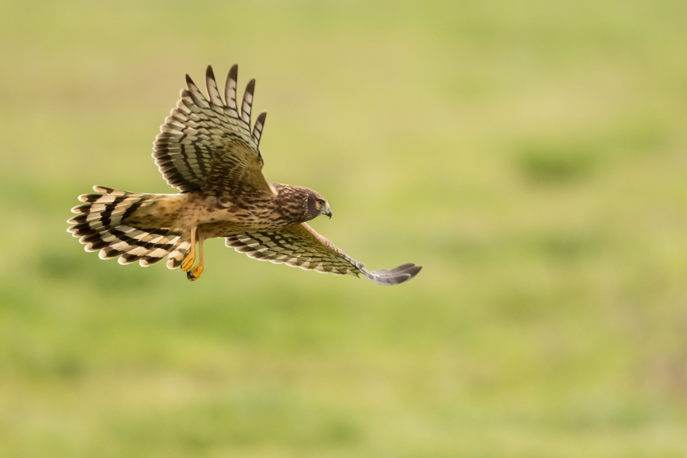 Hen harriers, like the one in this photo, are among the endangered birds of prey that are being killed in Scotland.