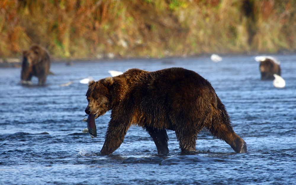 Kodiak bears typically feast on sockeye salmon during the summer. But climate change has changed the bears' eating habits.